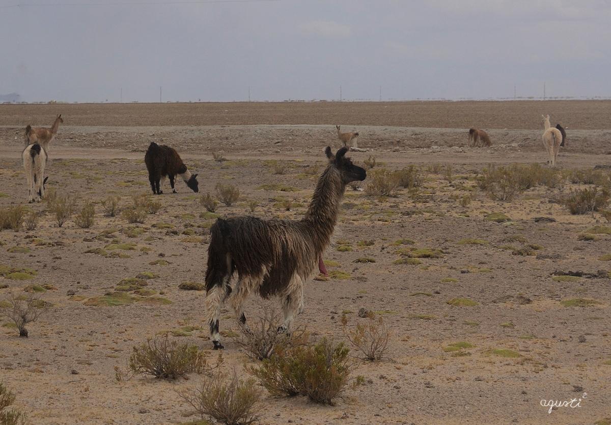 SALAR UYUNI - BOLIVIA - BOLIVIA - FAUNA - FOTOGRAFIES FAUNA - BOLIVIA