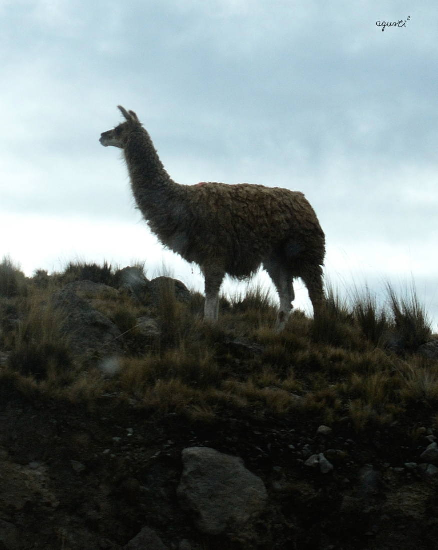 ALTIPLANO - COCHABAMBA - BOLIVIA - BOLIVIA - FAUNA - FOTOGRAFIES FAUNA - BOLIVIA