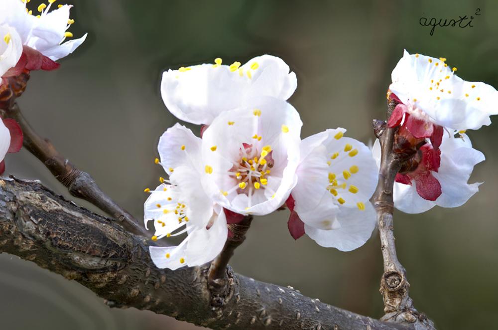 Flors de prunera - Selecció - fotografies de natura i paisatge de Catalunya - agusti2 - les millors