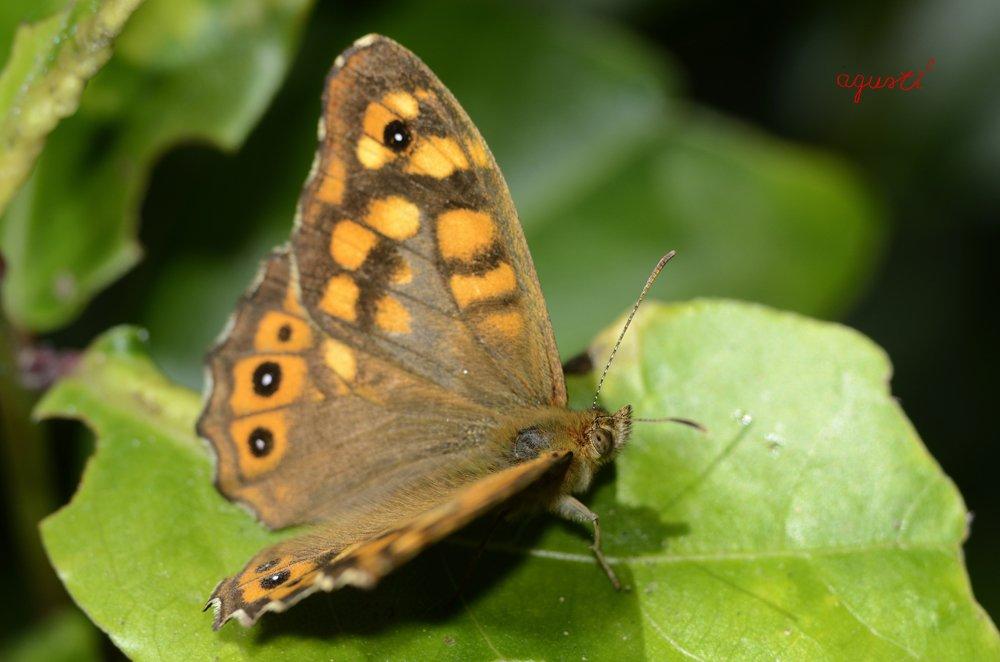 Pyronia cecilia - Selecció - fotografies de natura i paisatge de Catalunya - agusti2 - les millors