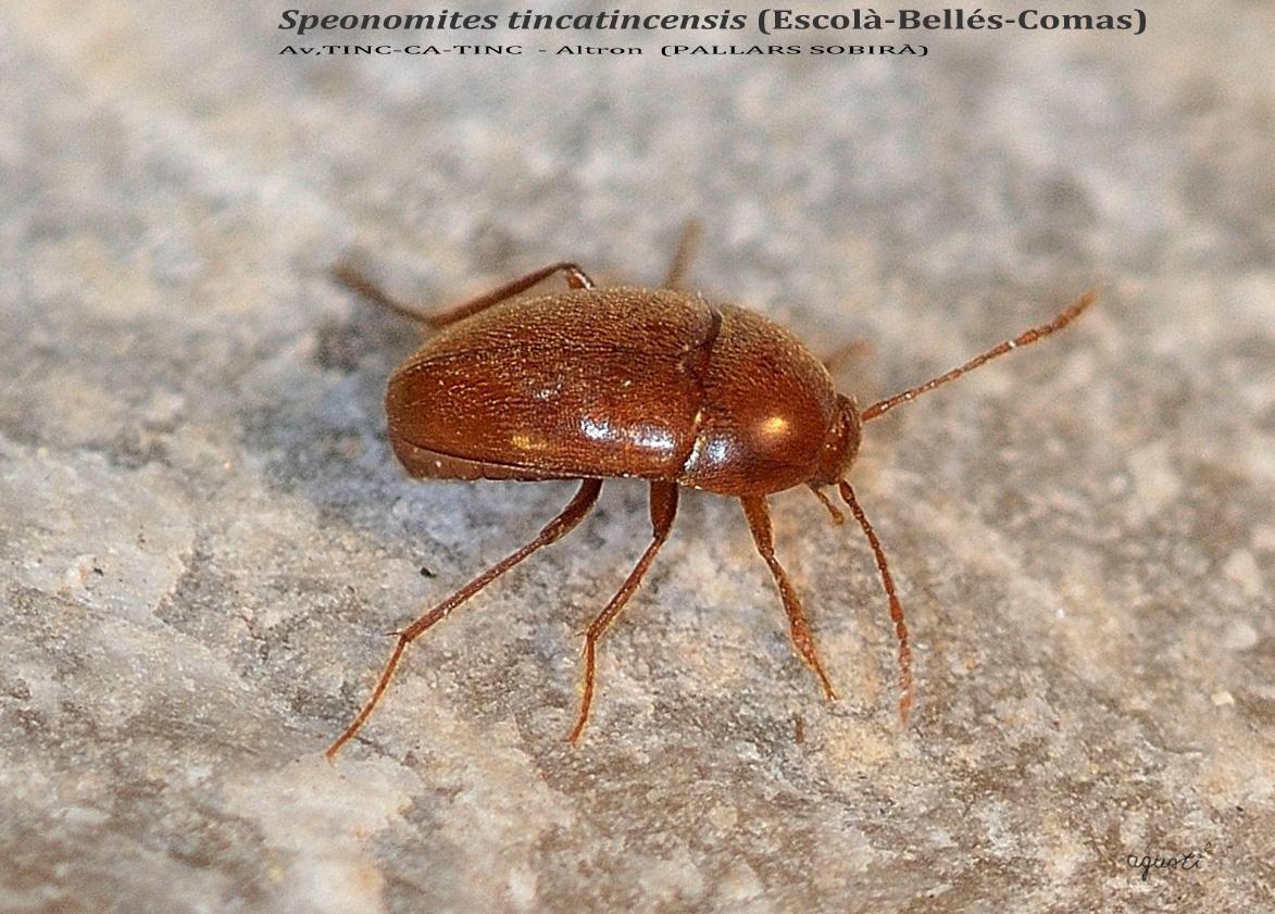 Speonomites tincatincensis (Escolà-Bellés-Comas) Av,TINC-CA-TINC  - Altron  (PALLARS SOBIRÀ) - CATALUNYA - FAUNA CAVERNICOLA - fauna cavernicola de Catalunya