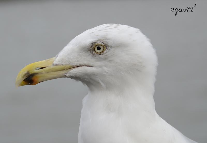gavina - Holanda - Selecció - fotografies de natura i paisatge de Catalunya - agusti2 - les millors