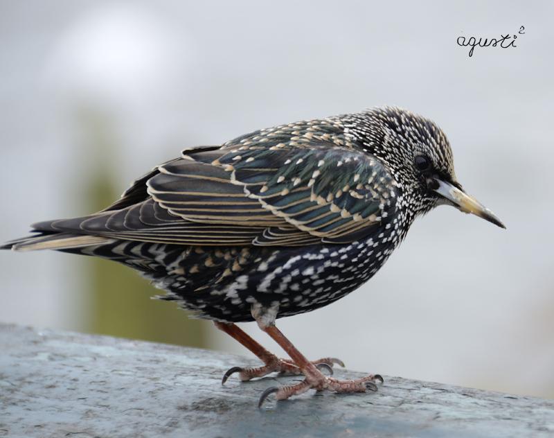 ocell de hollanda - Selecció - fotografies de natura i paisatge de Catalunya - agusti2 - les millors