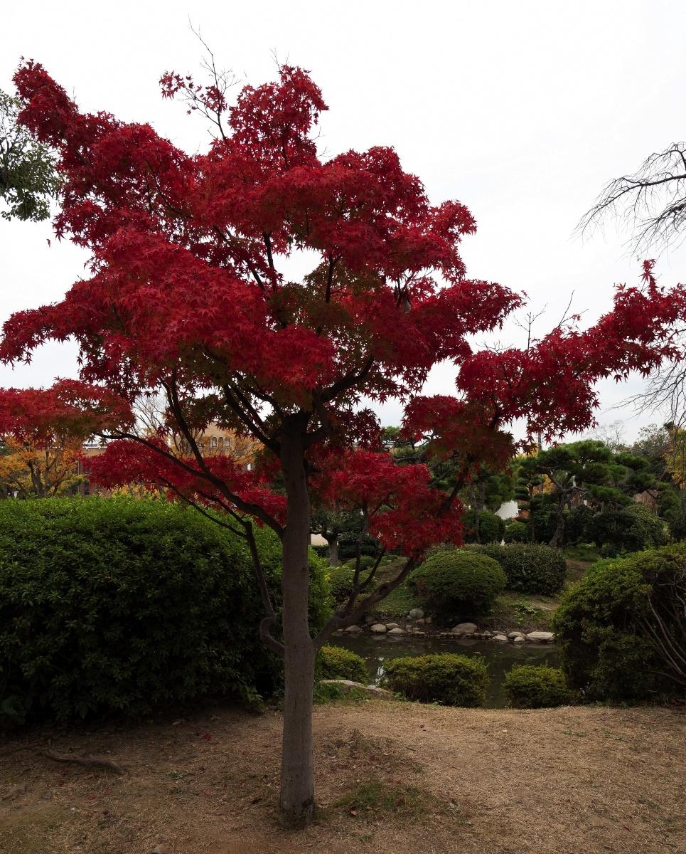 Parc del castell d'Osaka – Osaka - Japó - JAPÓ - COLORS DE TARDOR - agusti lopez rodriguez i agusti meseguer altes, Fotografía entorn natural