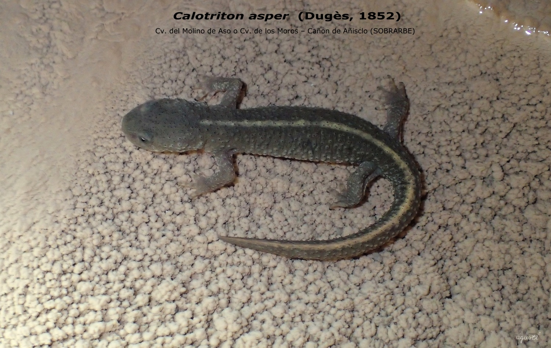 Calotriton asper (Dugès, 1852) – Cv. Del Molino de Aso o Cv. de los Moros – Cañon de Añisclo – AINSA (SOBRARBE) - FAUNA CAVERNICOLA - fauna cavernicola de Catalunya