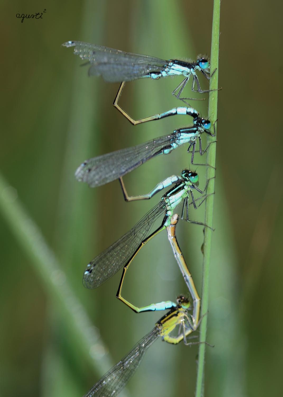 Tandem de Ischnura elegans - petit aiguamolls de Cala Castell - Palamos - Selecció - fotografies de natura i paisatge de Catalunya - agusti2 - les millors