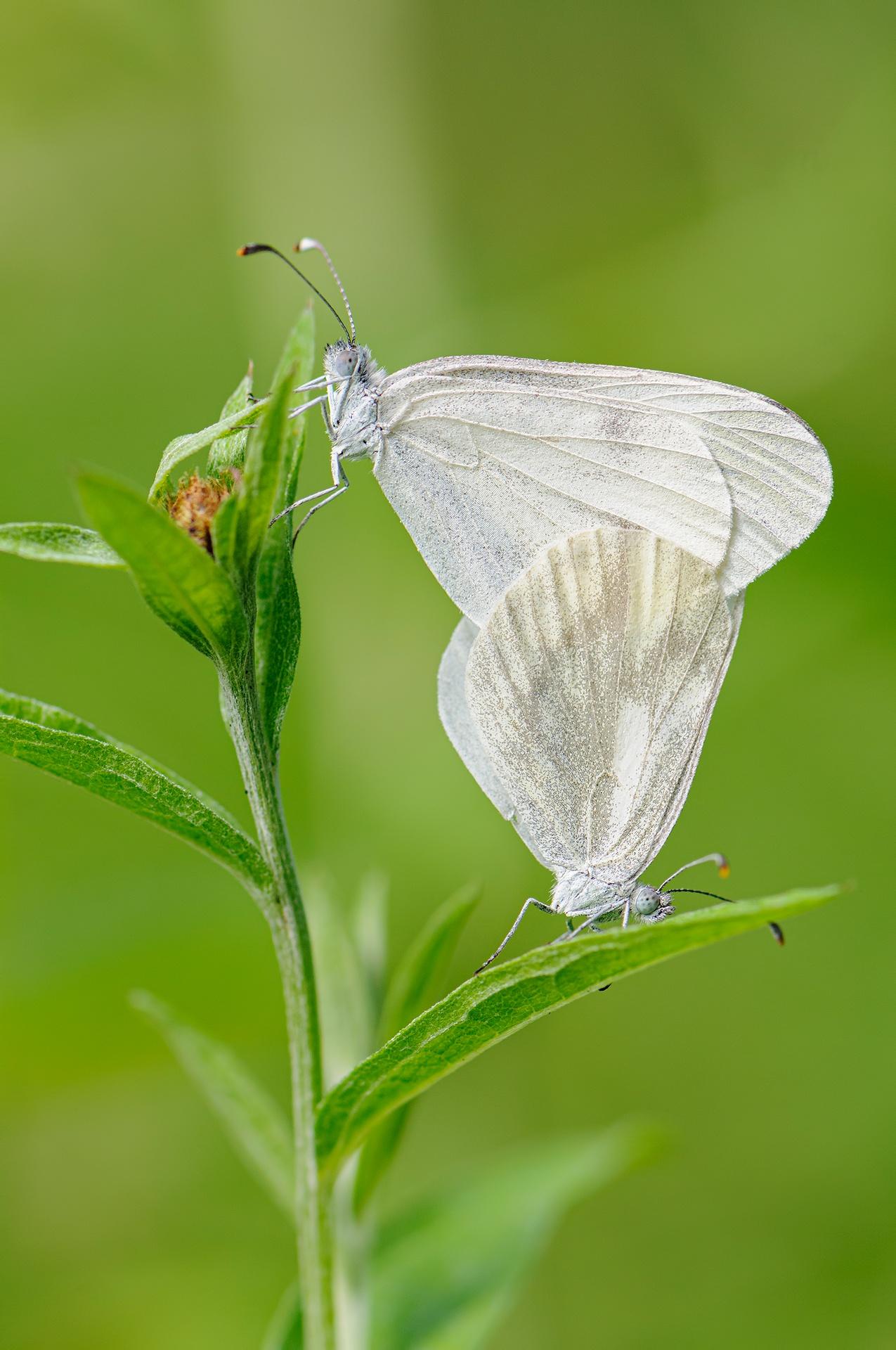 Gaspar Guerra De la Huerga-Mariposas - 2020 - AFONAS, Asociación de Fotografos de Naturaleza de Asturias