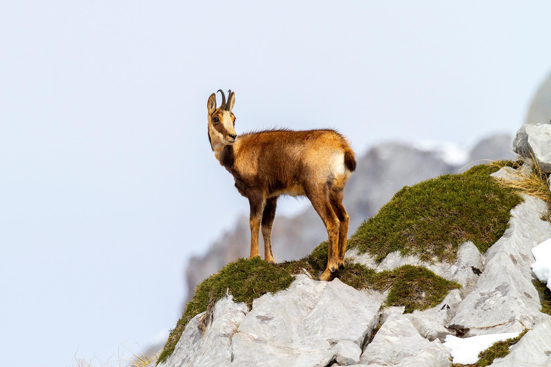 Moisés Castaño García- Rebeco - 2020 - AFONAS, Asociación de Fotografos de Naturaleza de Asturias