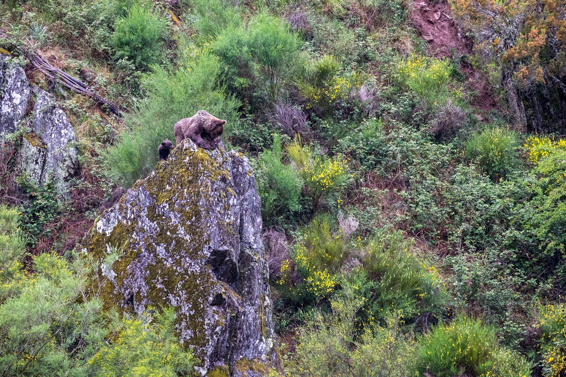 Celso Álvarez Martínez-Oso cantábrico - 2019 - AFONAS, Asociación de Fotografos de Naturaleza de Asturias