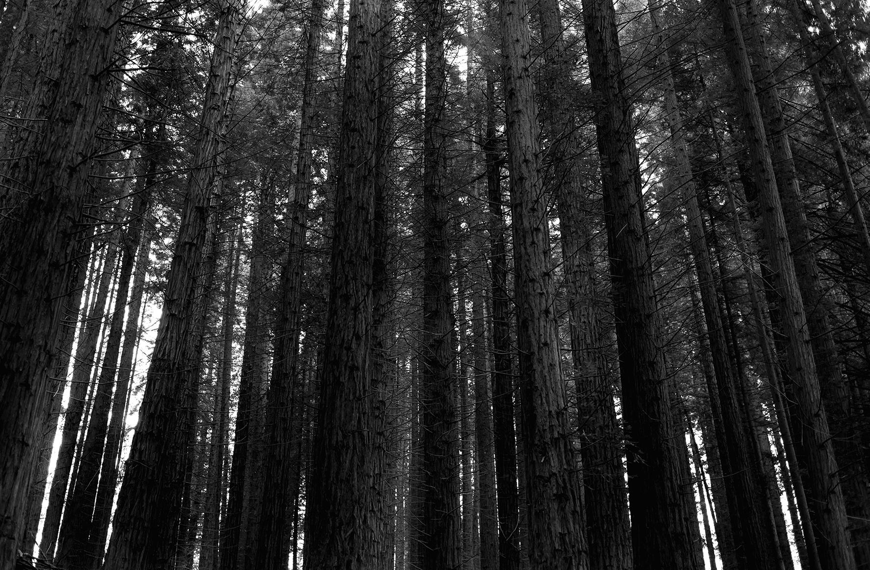 Secuoyas, bosque transformado por el régimen, 2018 - Niebla (2018) - Ana Frechilla, proyecto fotográfico