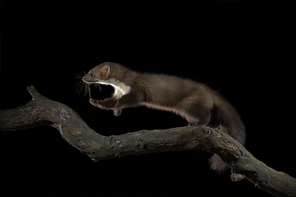 Garduña - Mamíferos Ibéricos - Antonio Atienza Fuerte, fotografía de naturaleza, fotografía de carnívoros.