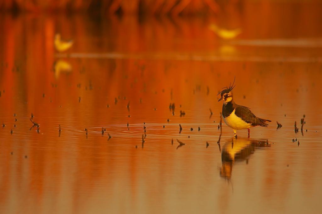 Avefría - Aves Ibéricas - Antonio Atienza Fotografía de naturaleza, aves.