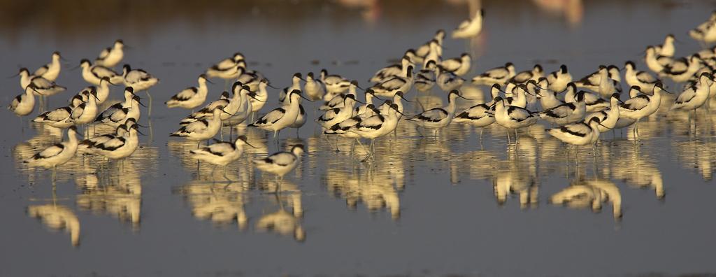Avocetas - Aves Ibéricas - Antonio Atienza Fotografía de naturaleza, aves.