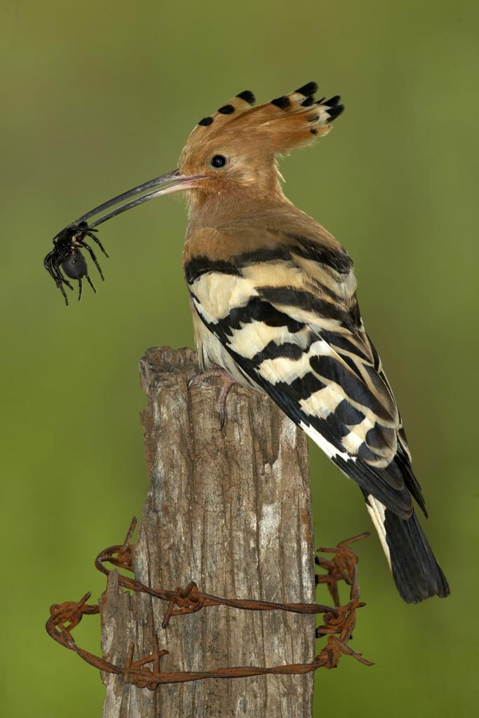 Abubilla - Aves Ibéricas - Antonio Atienza Fotografía de naturaleza, aves.