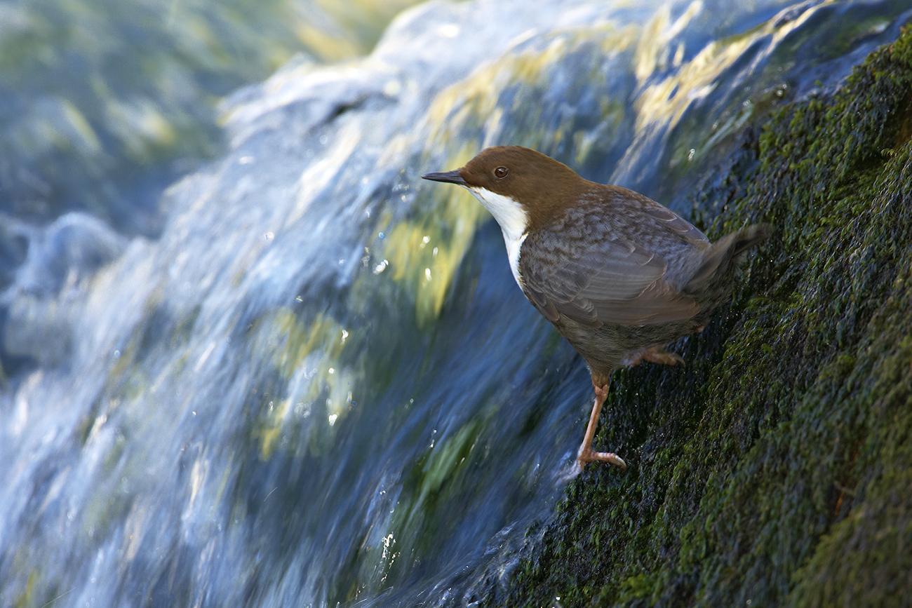 Mirlo acuático - Aves Ibéricas - Antonio Atienza Fotografía de naturaleza, aves.