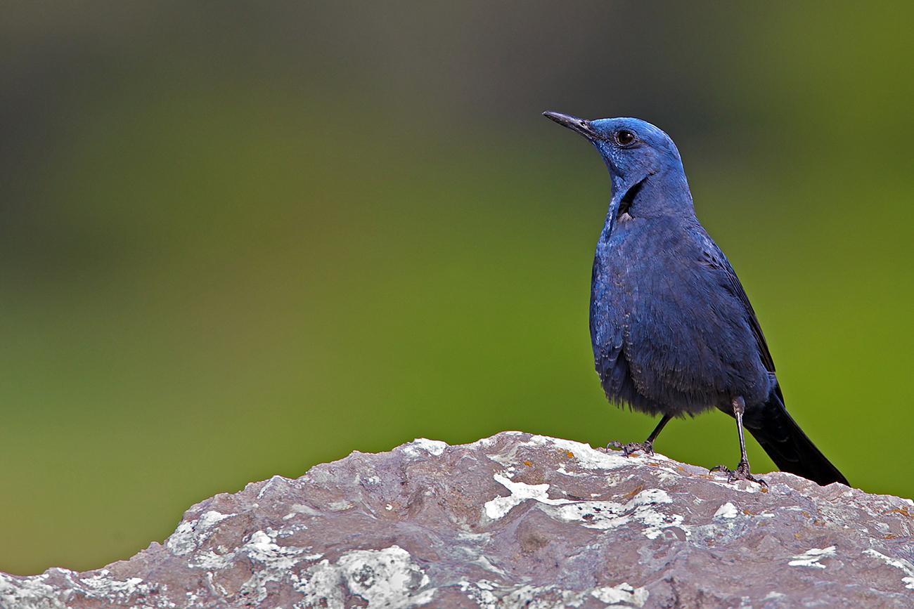 Loquero solitario - Aves Ibéricas - Antonio Atienza Fotografía de naturaleza, aves.
