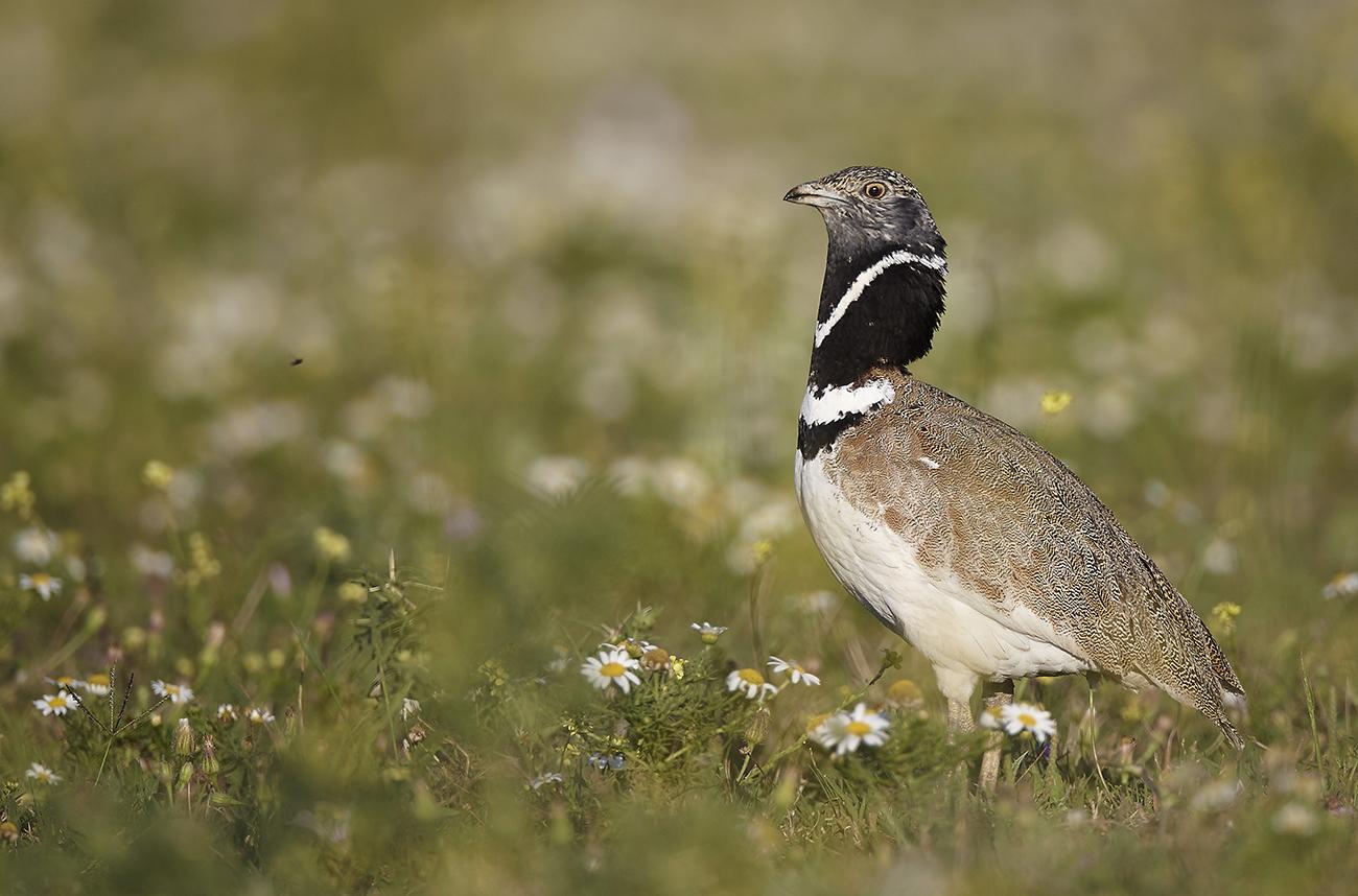 Sisón - Aves Ibéricas - Antonio Atienza Fotografía de naturaleza, aves.