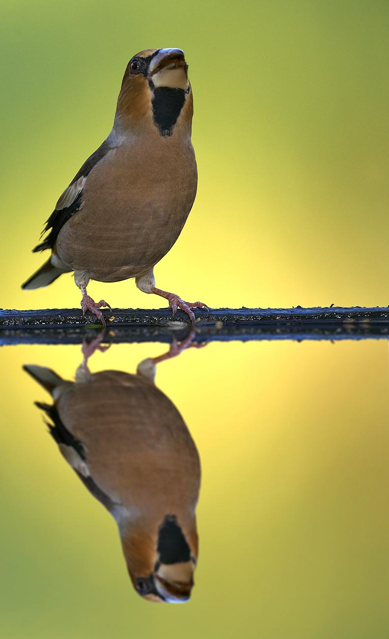 Picogordo - Aves Ibéricas - Antonio Atienza Fotografía de naturaleza, aves.