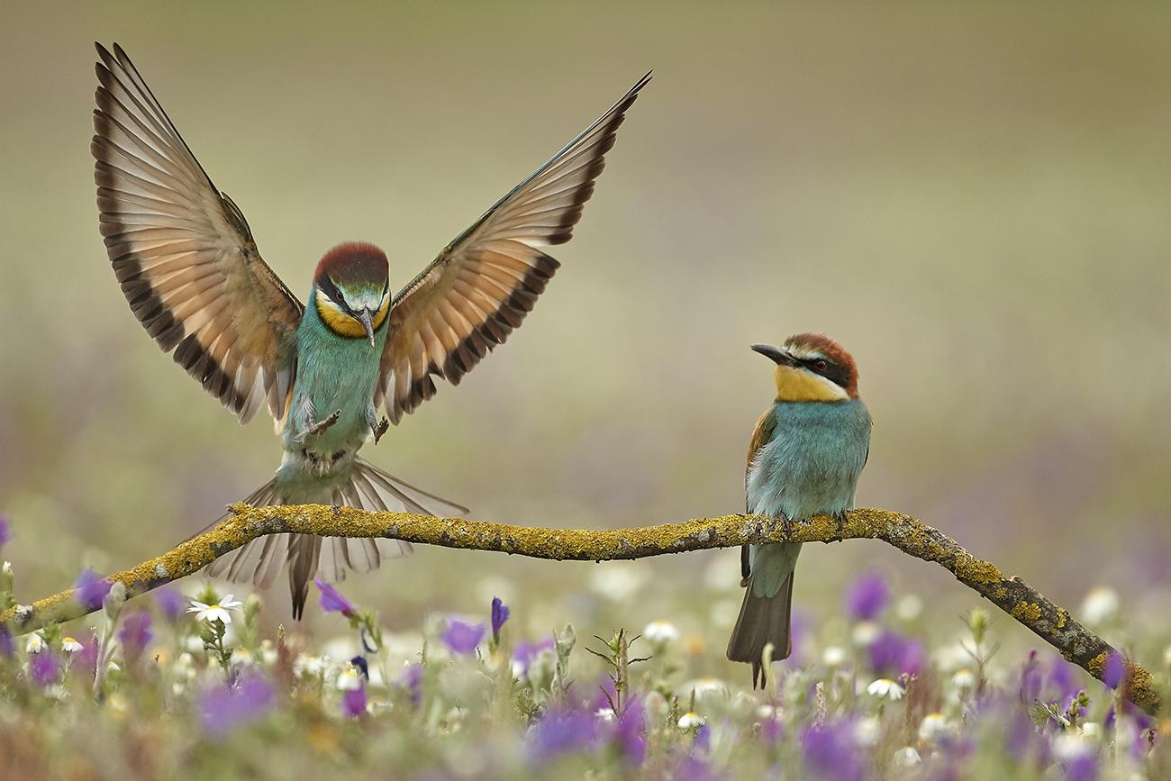 Abejarucos - Aves Ibéricas - Antonio Atienza Fotografía de naturaleza, aves.