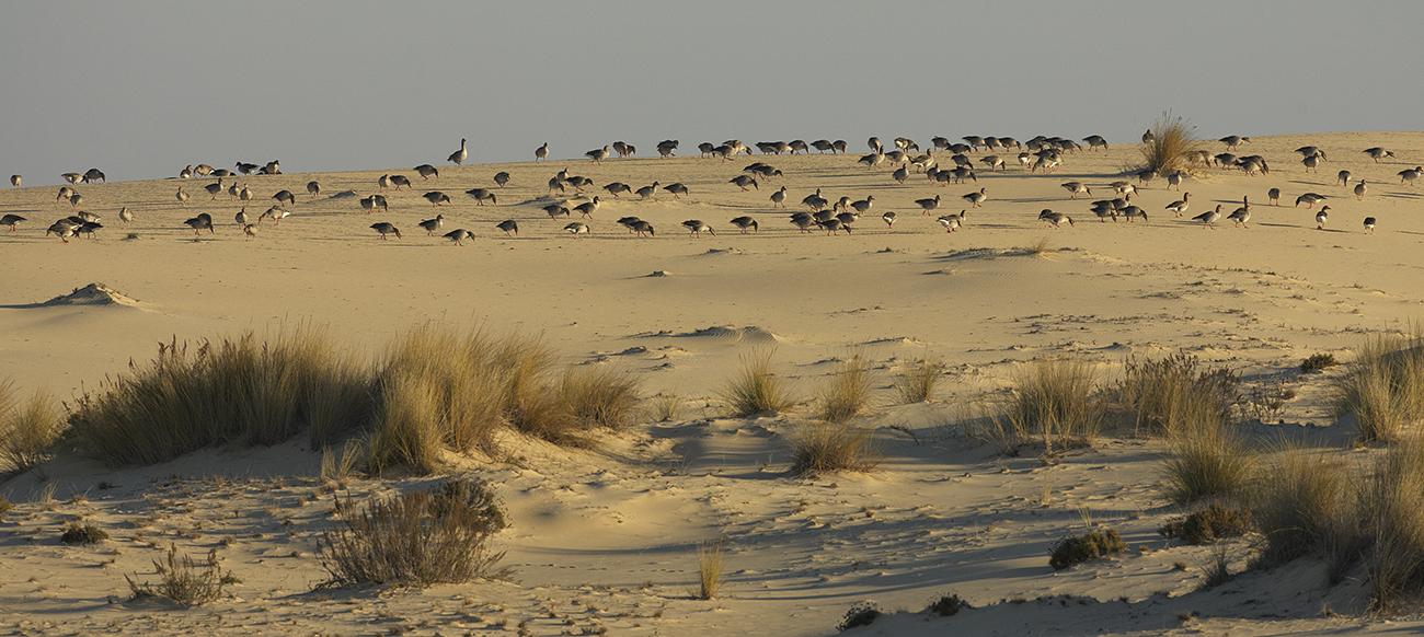 Ansares dunas de Doñana - Aves Ibéricas - Antonio Atienza Fotografía de naturaleza, aves.