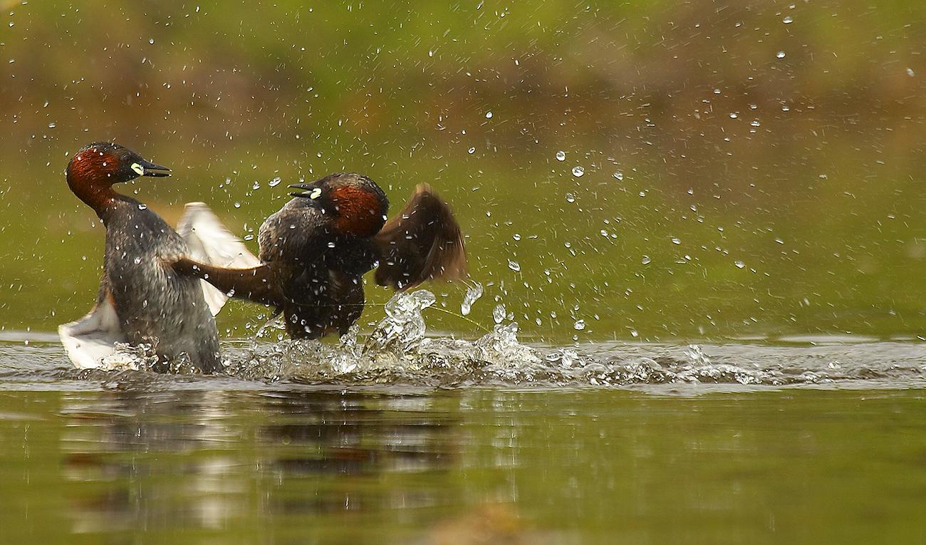 Zampullin común - Aves Ibéricas - Antonio Atienza Fotografía de naturaleza, aves.