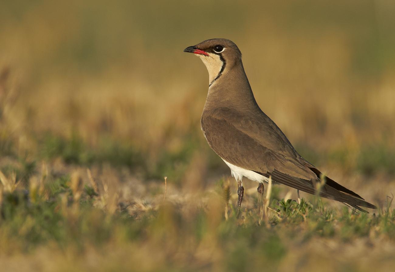 Canastera - Aves Ibéricas - Antonio Atienza Fotografía de naturaleza, aves.