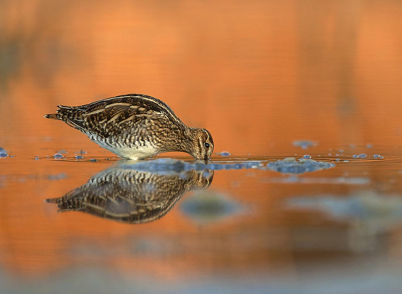 Agachadiza - Aves Ibéricas - Antonio Atienza Fotografía de naturaleza, aves.