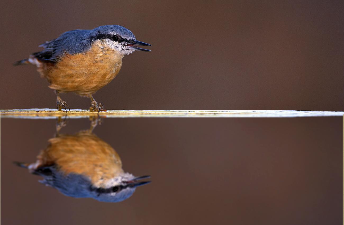 Trepador azul - Aves Ibéricas - Antonio Atienza Fotografía de naturaleza, aves.