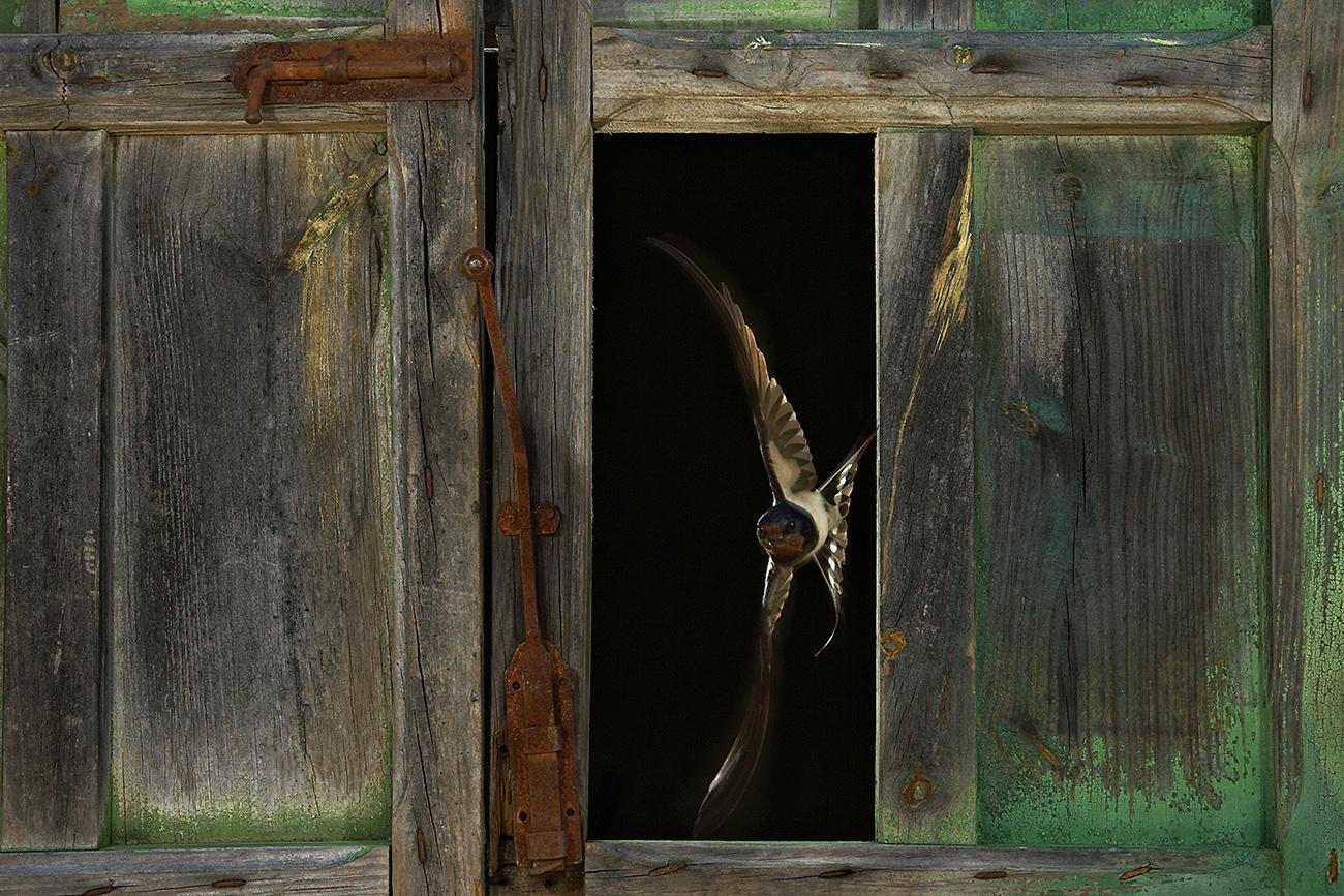 Golondrina común - Aves Ibéricas - Antonio Atienza Fotografía de naturaleza, aves.