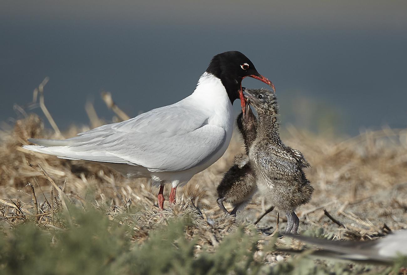 Gaviota cabecinegra - Aves Ibéricas - Antonio Atienza Fotografía de naturaleza, aves.