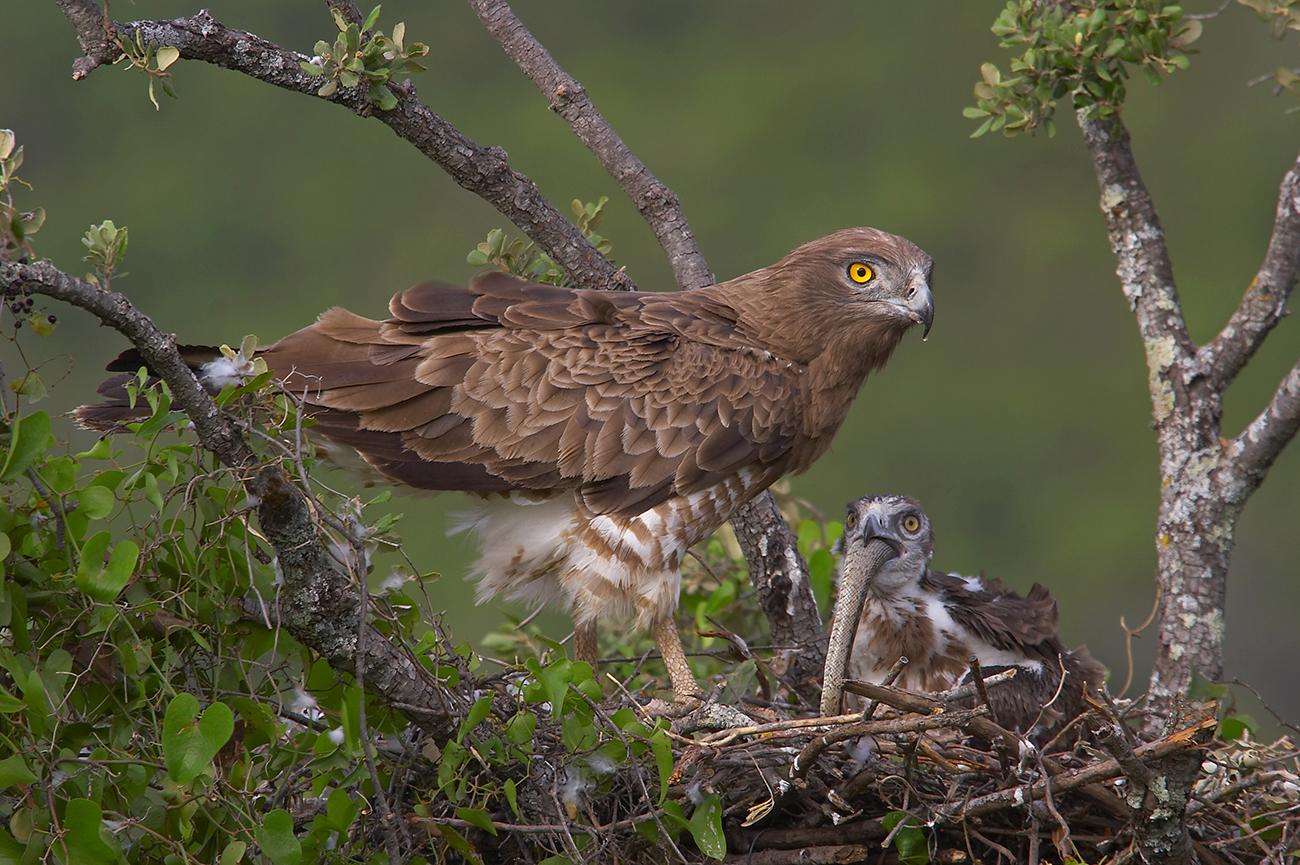 Águila culebrera - Rapaces Ibéricas - Antonio Atienza Fuerte, Fotografía de naturaleza, rapaces