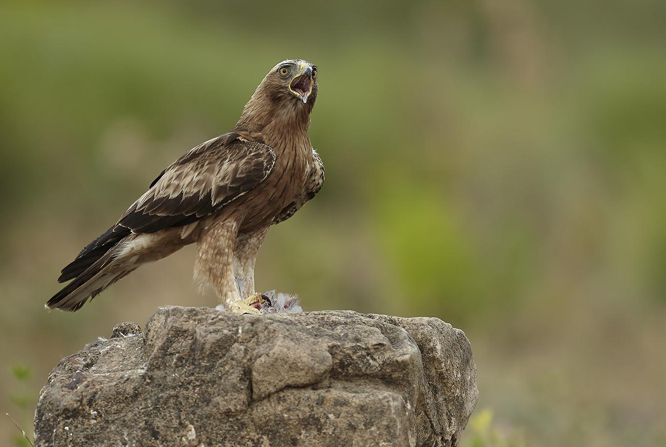 Águila calzada fase oscura - Rapaces Ibéricas - Antonio Atienza Fuerte, Fotografía de naturaleza, rapaces