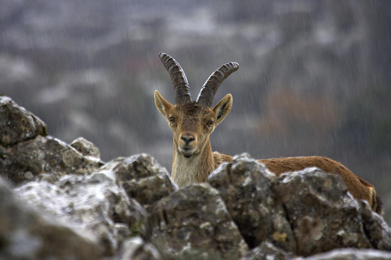 Cabra montes - Mamíferos Ibéricos - Antonio Atienza Fuerte, fotografía de naturaleza, fotografía de carnívoros.
