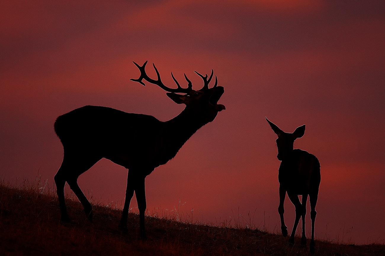 Ciervos amanecer - Mamíferos Ibéricos - Antonio Atienza Fuerte, fotografía de naturaleza, fotografía de carnívoros.