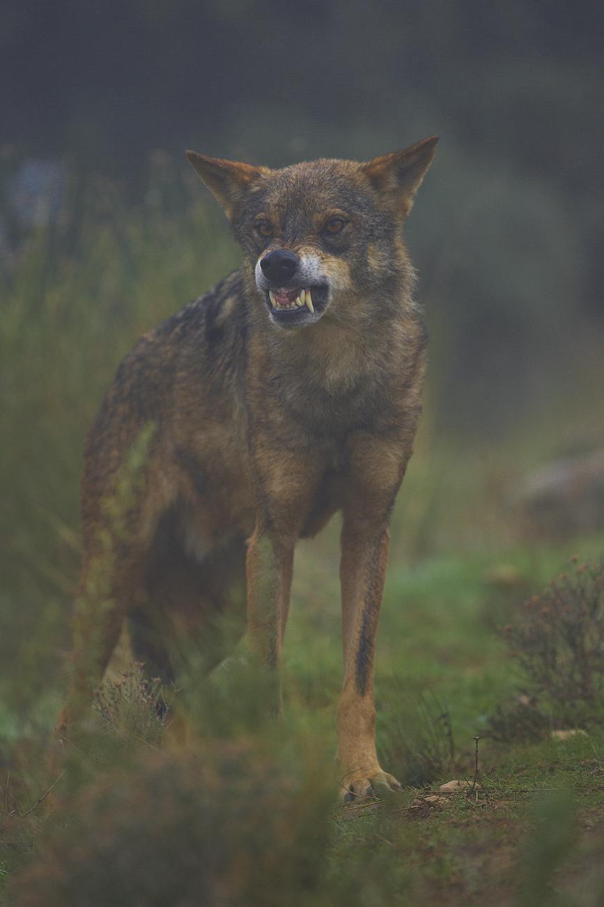 Lobo ibérico - Mamíferos Ibéricos - Antonio Atienza Fuerte, fotografía de naturaleza, fotografía de carnívoros.