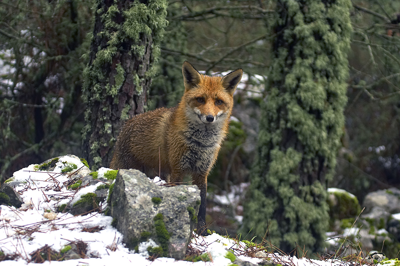 Zorro común - Mamíferos Ibéricos - Antonio Atienza Fuerte, fotografía de naturaleza, fotografía de carnívoros.