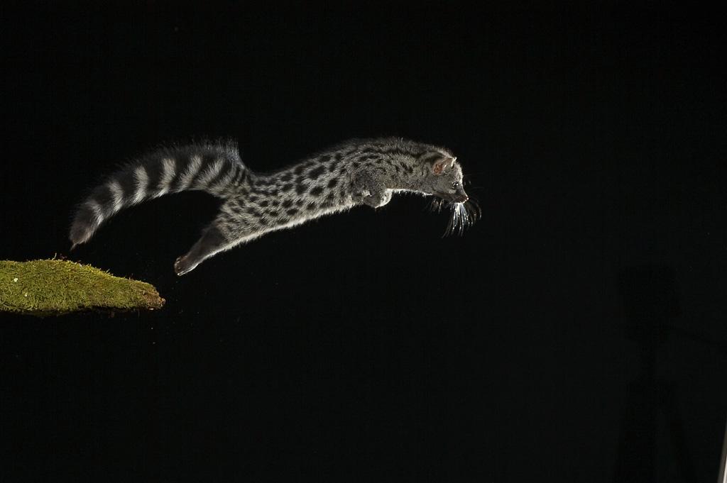 Mamíferos Ibéricos - Antonio Atienza Fuerte, fotografía de naturaleza, fotografía de carnívoros.