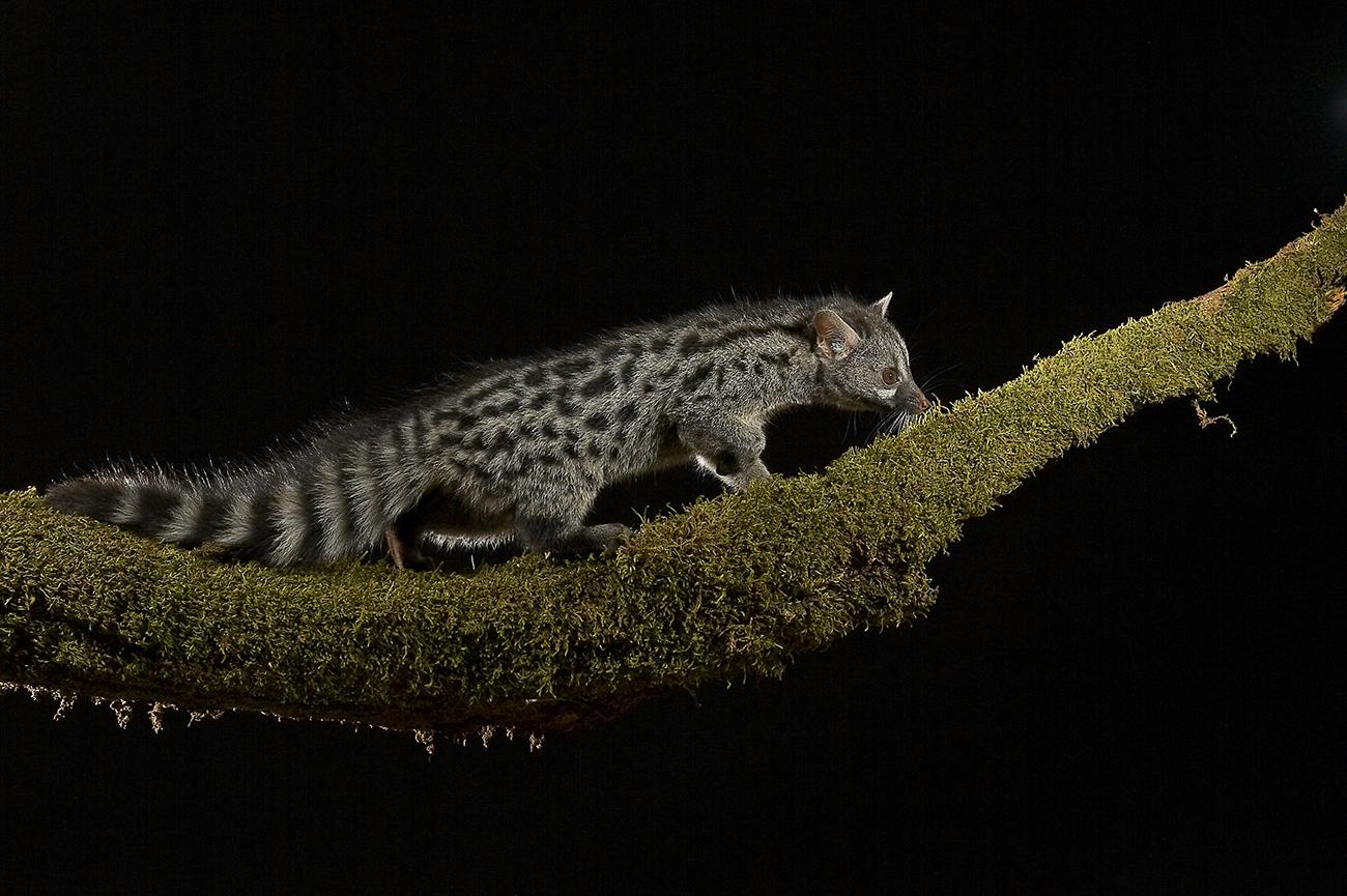 Gineta - Mamíferos Ibéricos - Antonio Atienza Fuerte, fotografía de naturaleza, fotografía de carnívoros.