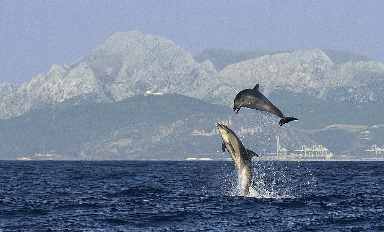 Delfines mulares - Mamíferos Ibéricos - Antonio Atienza Fuerte, fotografía de naturaleza, fotografía de carnívoros.