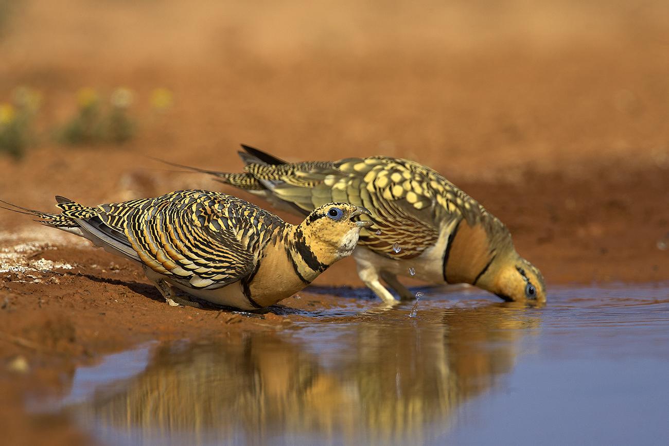 Gangas - Aves Ibéricas - Antonio Atienza Fotografía de naturaleza, aves.