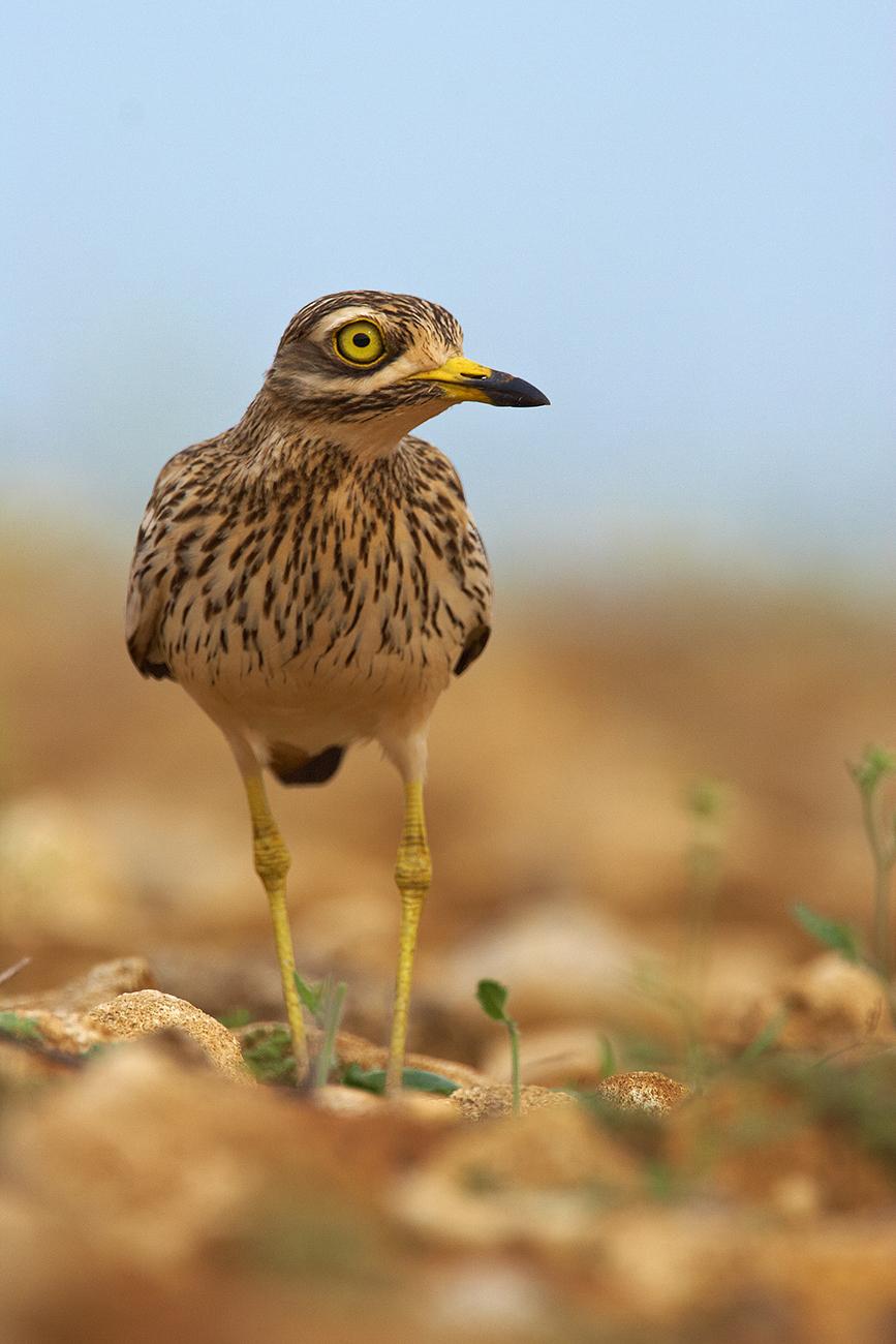 Alcaravan - Aves Ibéricas - Antonio Atienza Fotografía de naturaleza, aves.