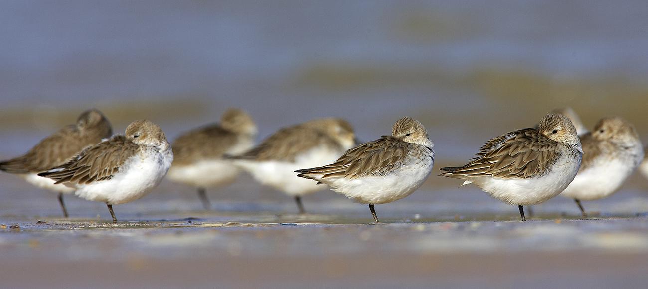 Corregimos comunes - Aves Ibéricas - Antonio Atienza Fotografía de naturaleza, aves.