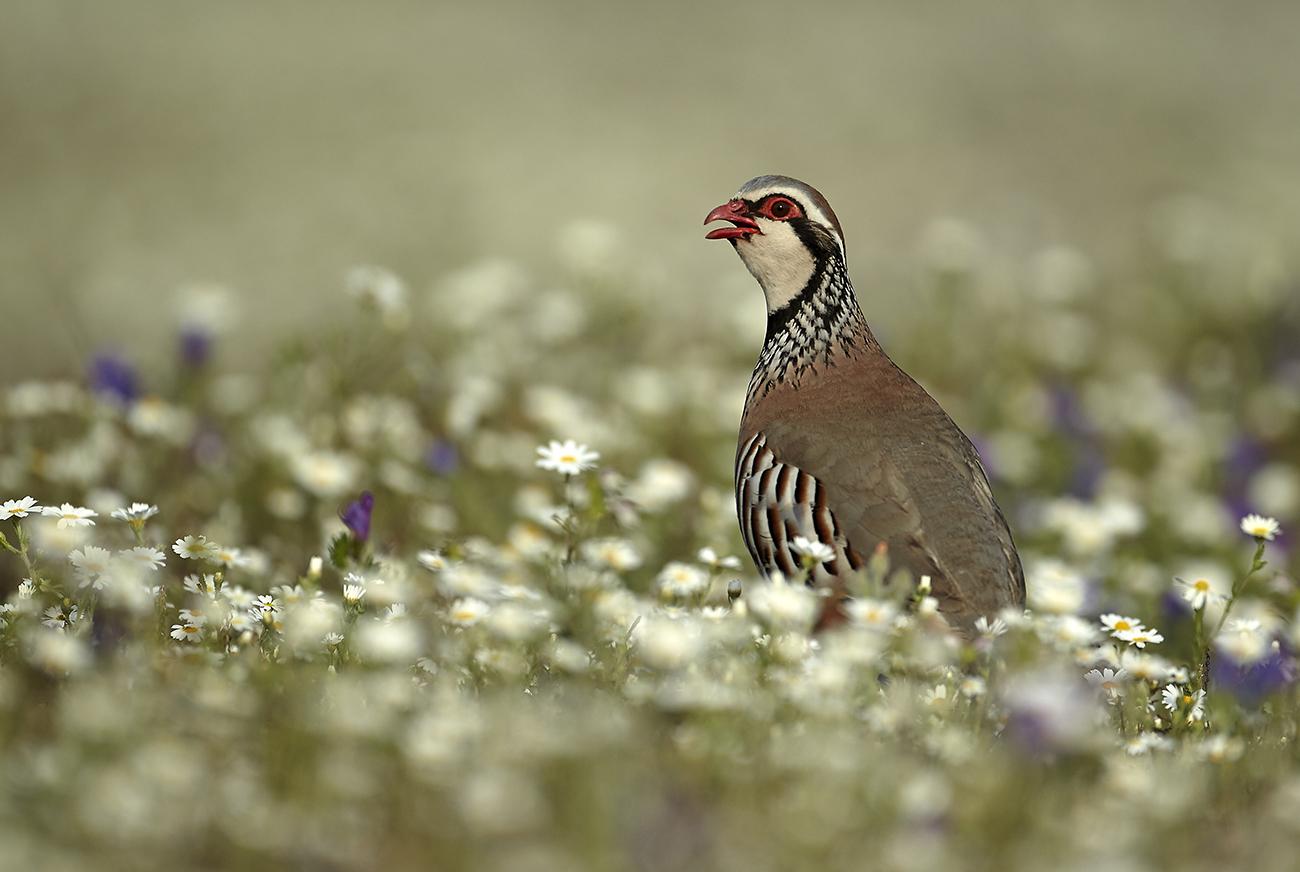 Perdiz común - Aves Ibéricas - Antonio Atienza Fotografía de naturaleza, aves.