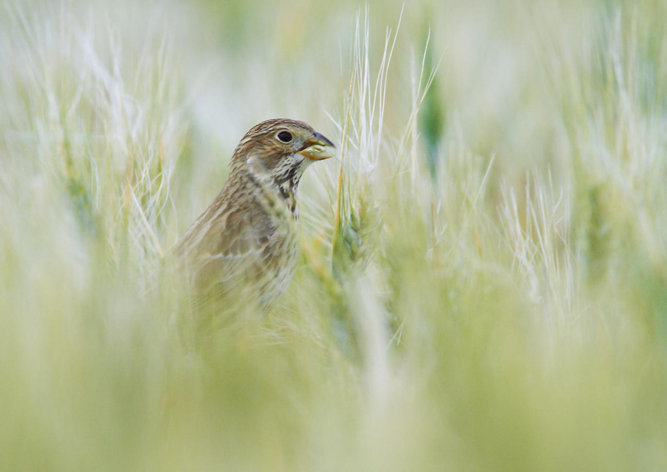 Triguero - Aves Ibéricas - Antonio Atienza Fotografía de naturaleza, aves.