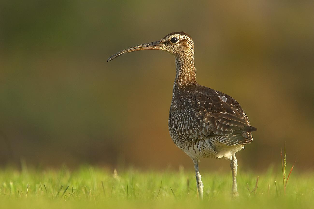 Zarapito trinador - Aves Ibéricas - Antonio Atienza Fotografía de naturaleza, aves.