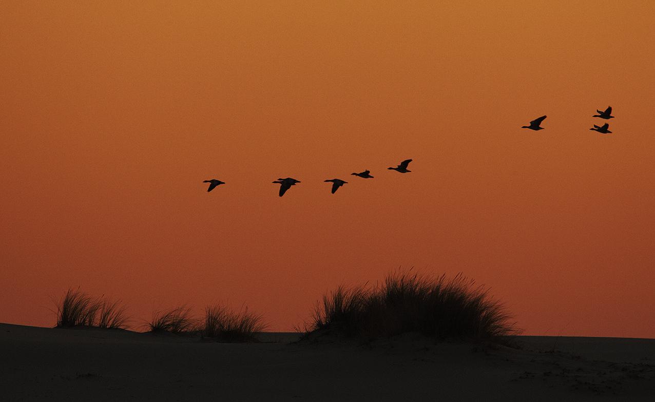 Ansares comunes - Aves Ibéricas - Antonio Atienza Fotografía de naturaleza, aves.