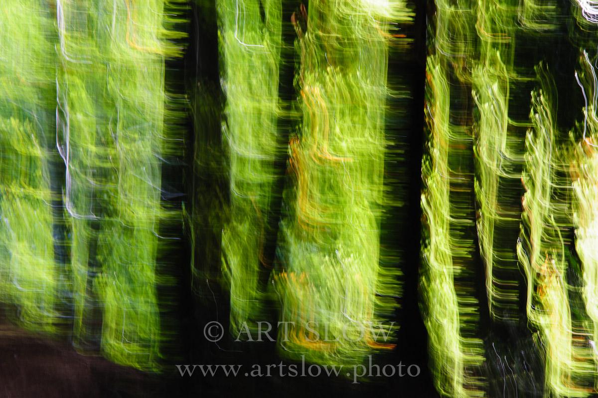 Conversación entre Hayas – Santa Fe, Parque Natural del Montseny, Catalunya. Edición: 10/10 + 2P/A - Arboles - Arboles
