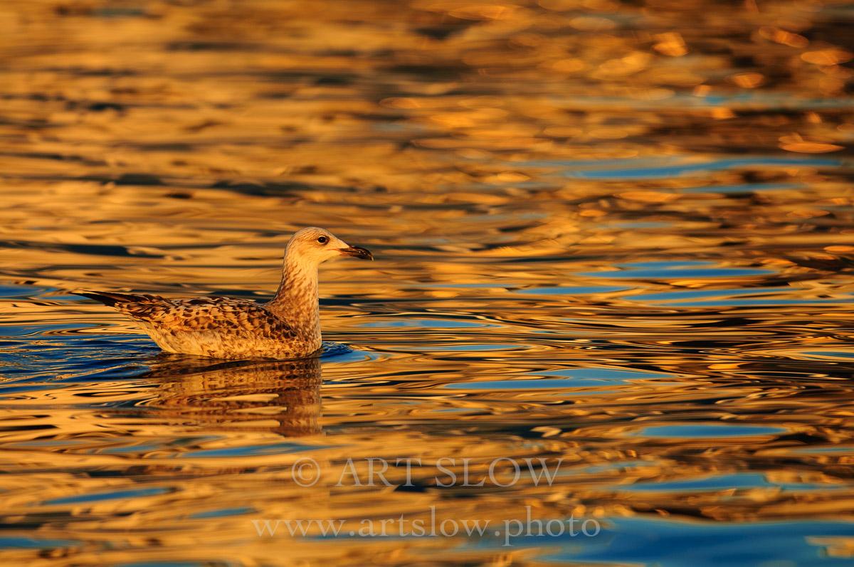 Dorados - L'Ampolla, Reserva Natural del Delta del Ebro, Catalunya. Edición: 10/10 + 2P/A - Fauna - Fauna