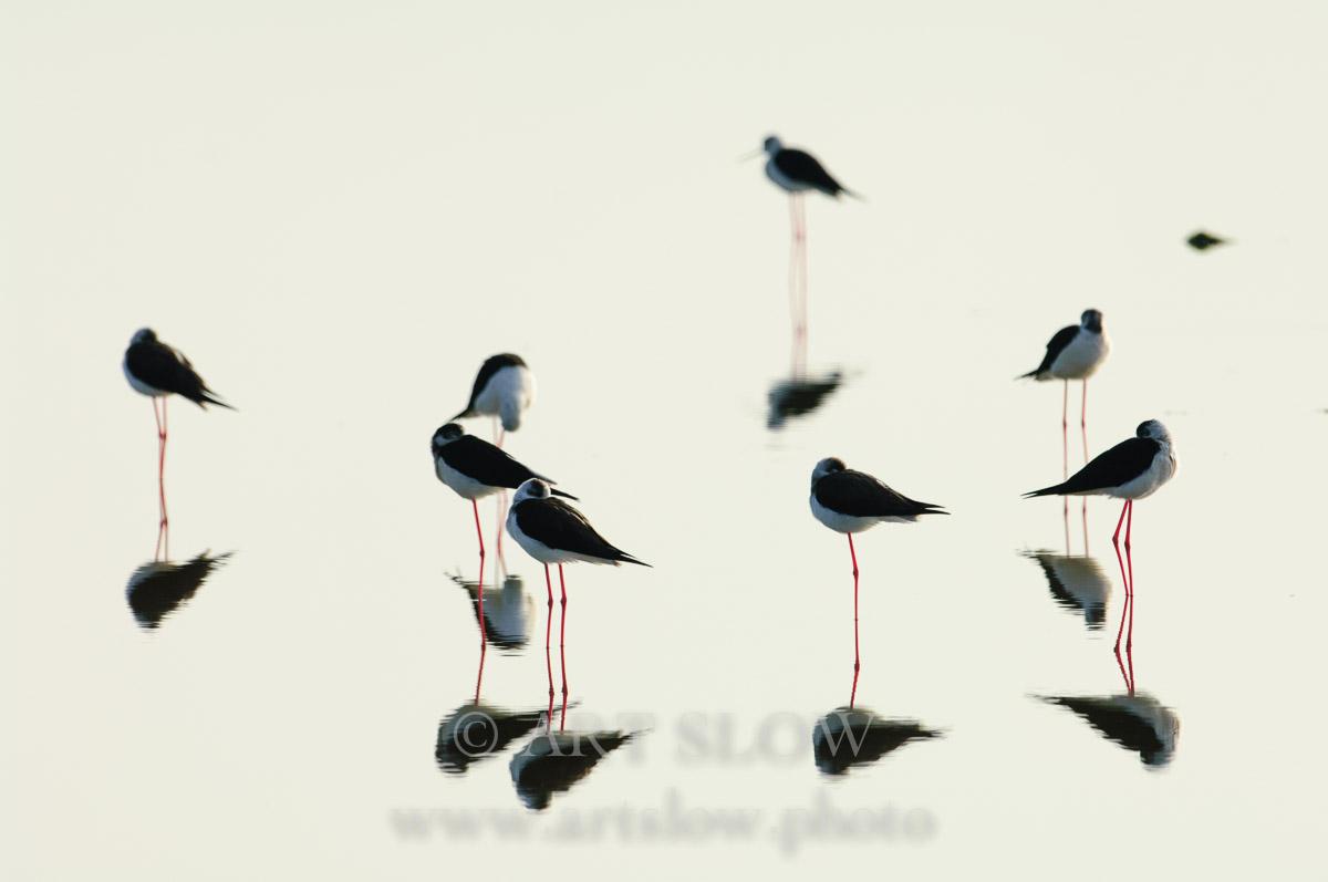 Haiku - Bahía del Fangar, Reserva Natural del Delta del Ebro, Catalunya. Edición: 10/10 + 2P/A - Fauna - Fauna