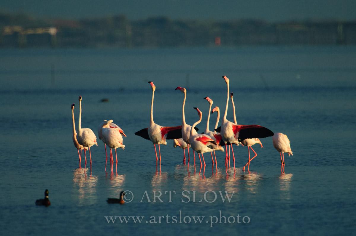 Postureo - Bahía del Fangar, Reserva Natural del Delta del Ebro, Catalunya. Edición: 10/10 + 2P/A - Fauna - Fauna